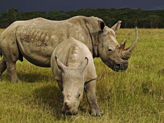 rhinos_wildlife crime_hero