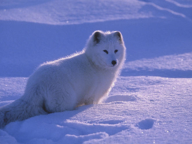 WWF - Arctic Fox