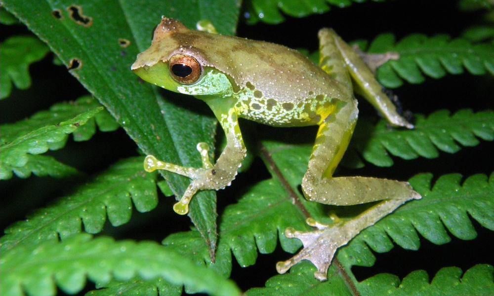 Sweet singing frog