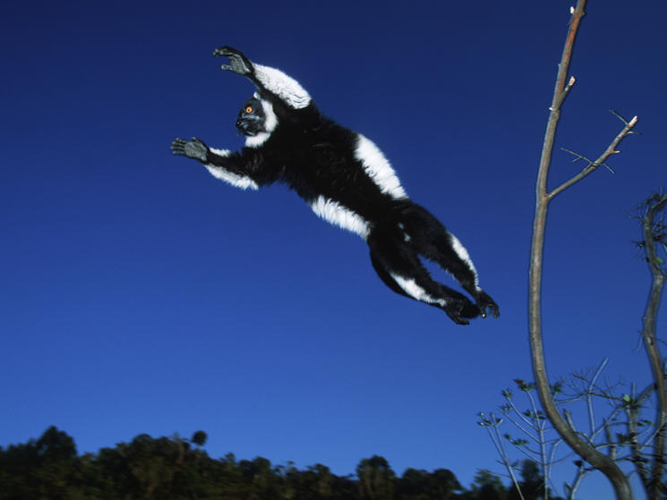 Black_and_white_ruffed_lemur_flying_(c)_martin_harvey