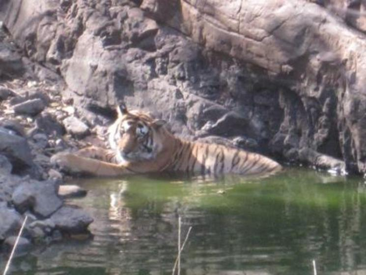 Tiger in ranthambhore np %28c%29 britta justesen wwf us