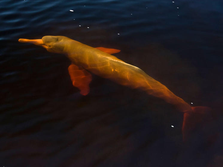 River_dolphin