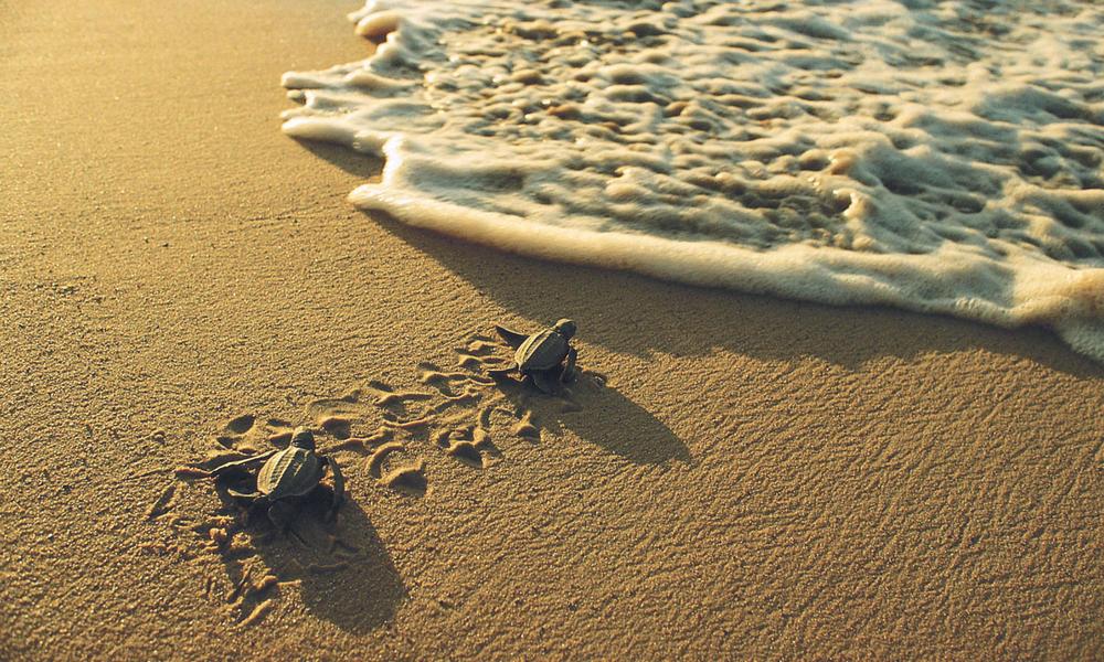 Plastic bags and jellyfish - Leatherback Turtle Sea Turtles Species Wwf