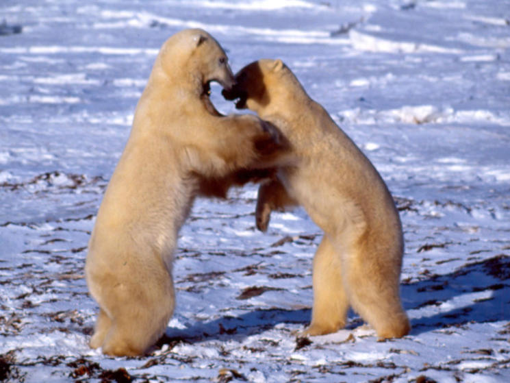 Polar_bear_fighting