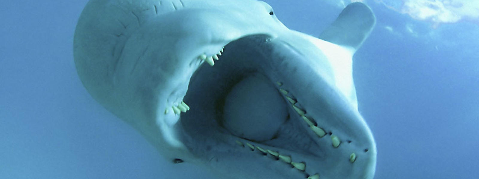 Ten Interesting Facts about Beluga Whales | Blog Posts | WWF