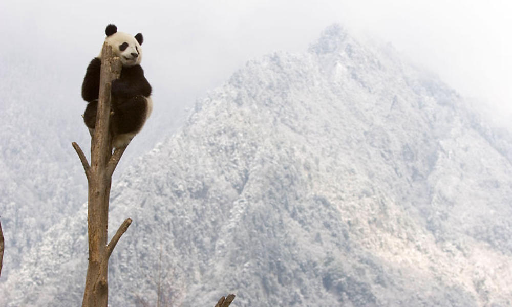 blog Pandas thumb