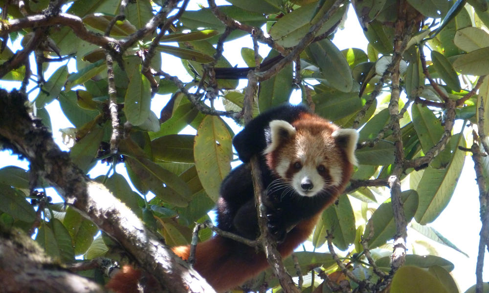 Red-panda-arunachal-india_degen_dorjee-wwf-india