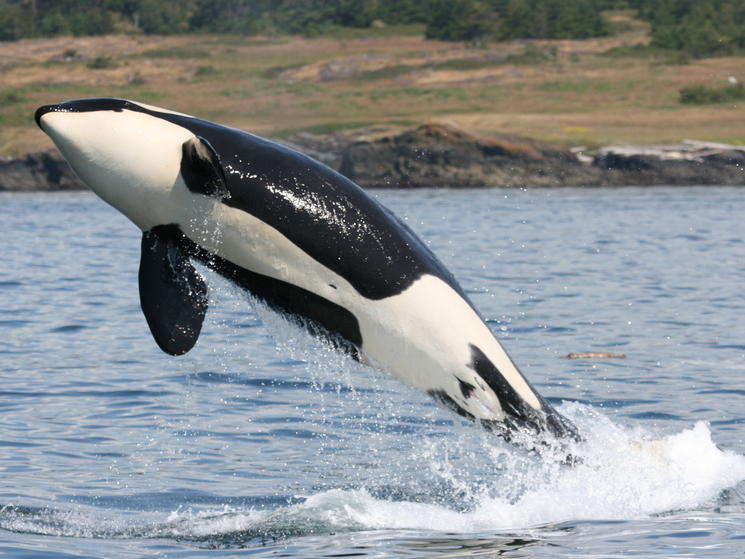 Leaping orca %28c%29 natalie bowes wwf canada