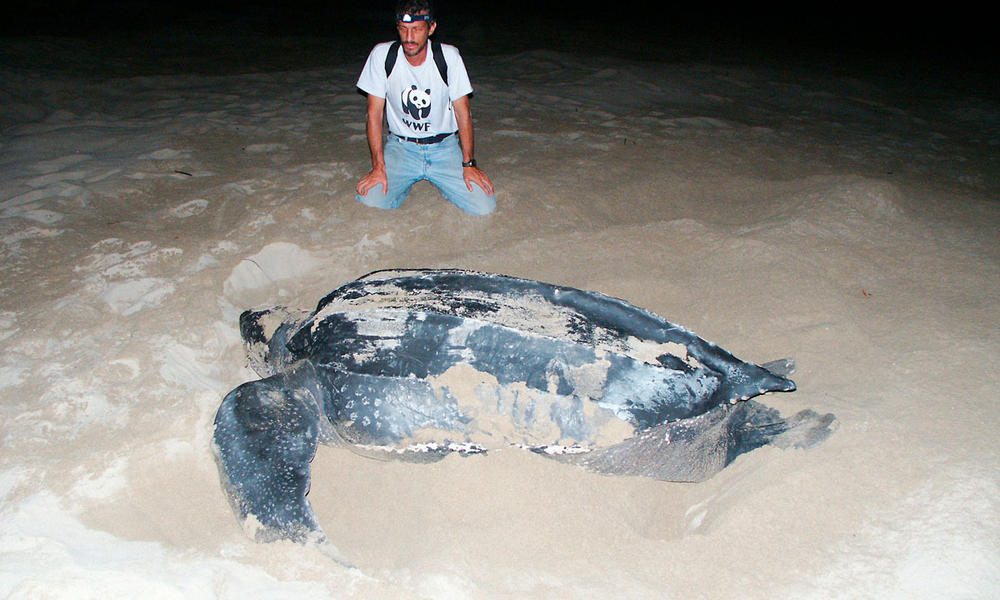 Carlos Drews, WWFs LAC Marine Turtle Coordinator, observes a leatherback turtle (Dermochelys coriacea) in Playa Chiriqui, Panama, June 2005.	