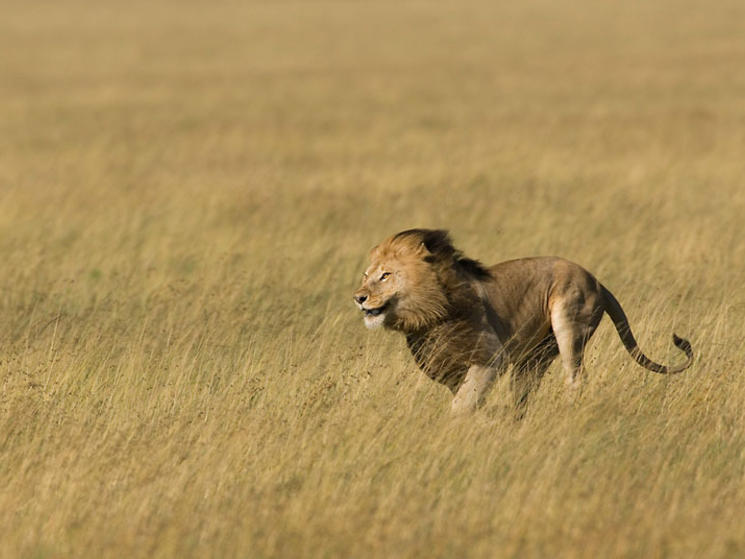 Back > Gallery For > Male Lion Running Fast