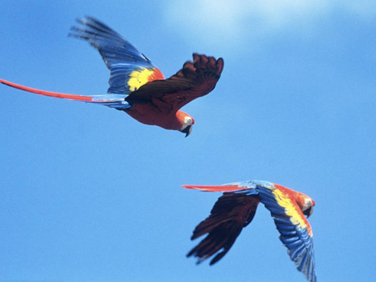 Scarlet_macaws