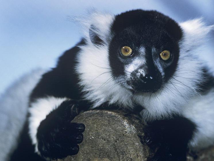 Lemur close up %28c%29 david lawson wwf uk