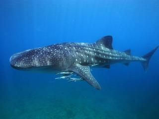 Philiippines_Whale_Shark2_travel_blog