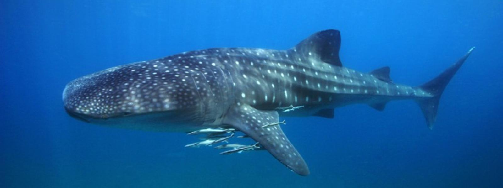 close encounters swimming whale sharks in the close encounters swimming whale sharks in the blog posts wwf