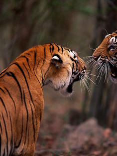 tigers_fighting_Ranthambore_travel