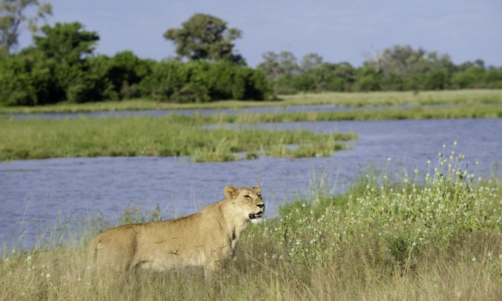 Lioness_savuti_channel_dana_allen_wilderness_safaris