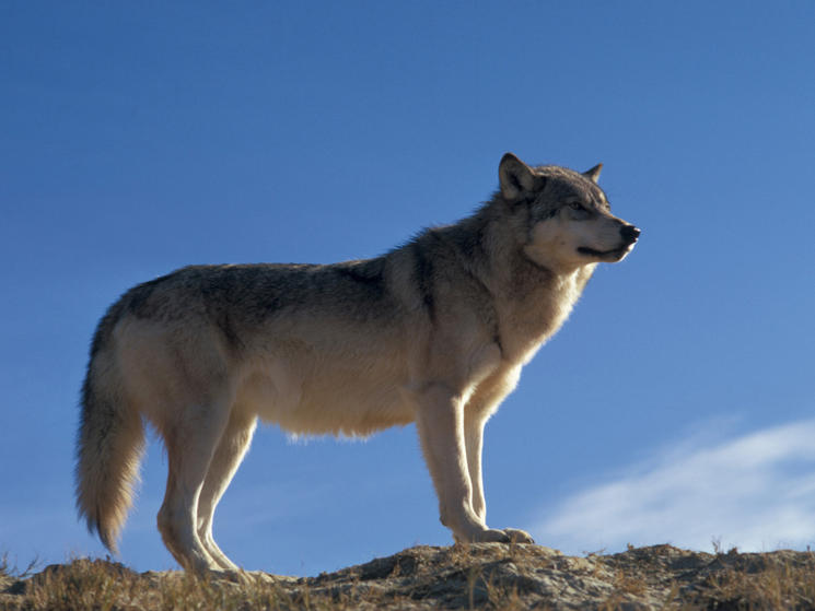 Webinar Alert: Wolves in the Wild | Blog Posts | WWF