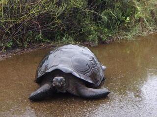 Tortoise_Galapagos_Slideshow_travel_blog
