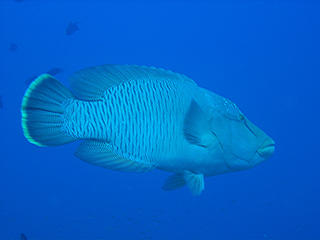Napoleon Wrasse, also known as Maori or Humphead Wrasse in the Red Sea