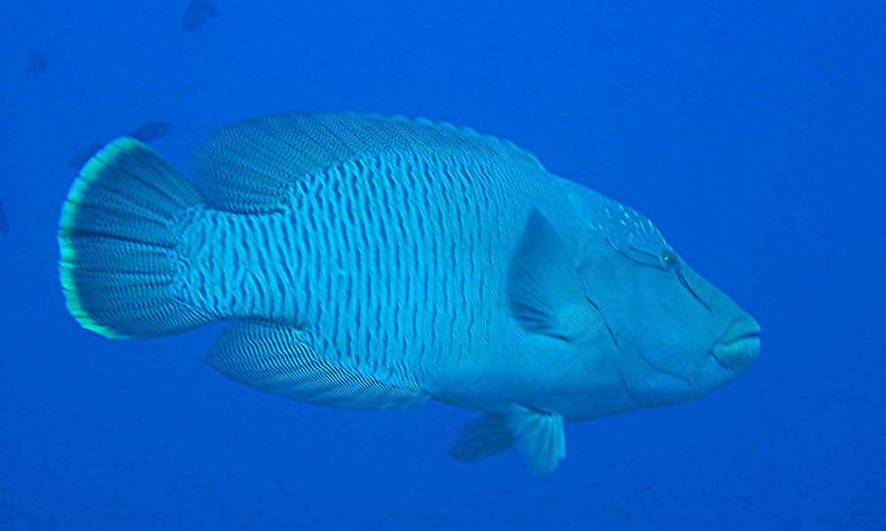 Napoleon Wrasse  also known as Maori or Humphead Wrasse in the Red SeaHumphead Fish