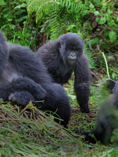 gorilla_uganda_TRAVEL_ONLY