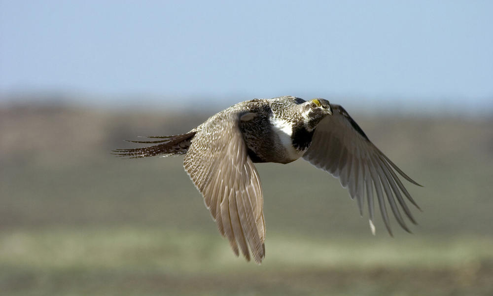 Greater sage grouse (Centrocercus urophasianus) in mid-flight. WWF project site, Montana, Northern Great Plains, United States.