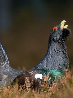 capercaillie_cairnogorms_travel