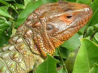 red_headed_caiman_lizard_1_circle.jpg