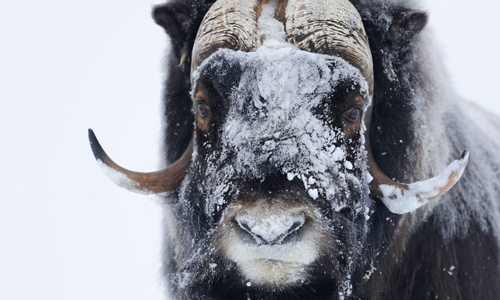Muskox in Norway