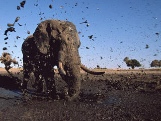Elephants in Botswana flinging mud