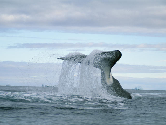 Bow head whale