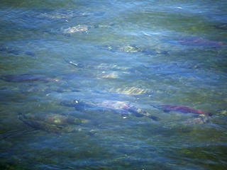Kamchatka salmon swim upstream to spawn
