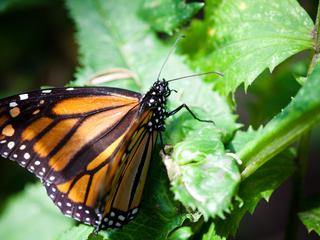 monarch butterfly_293172
