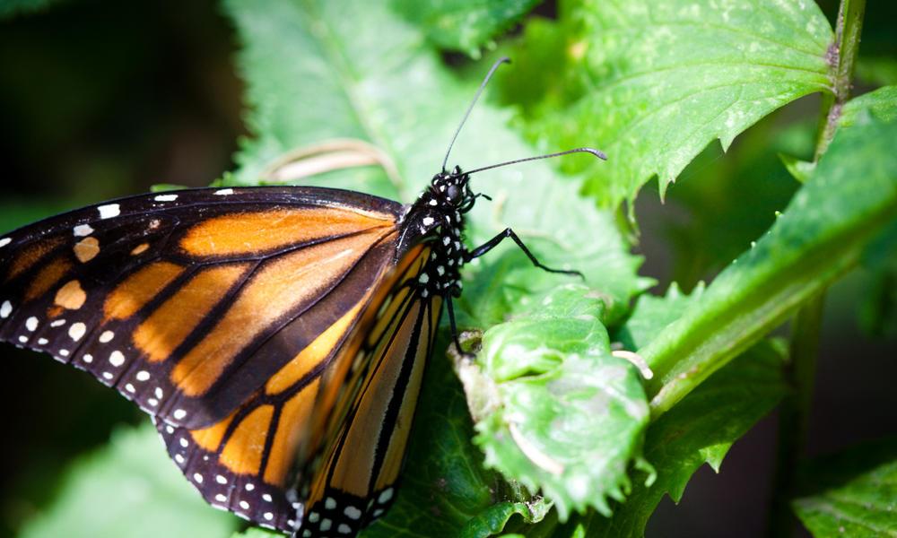 monarch butterfly_293172