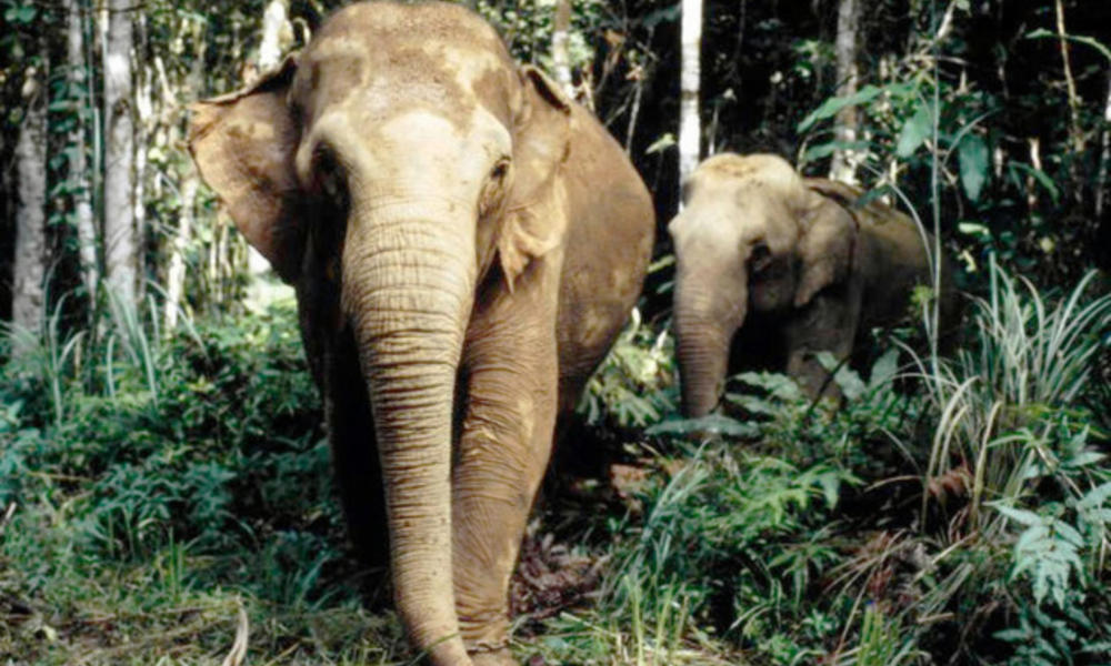 Two asian elephants in woods