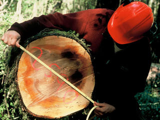 Man measuring felled tree