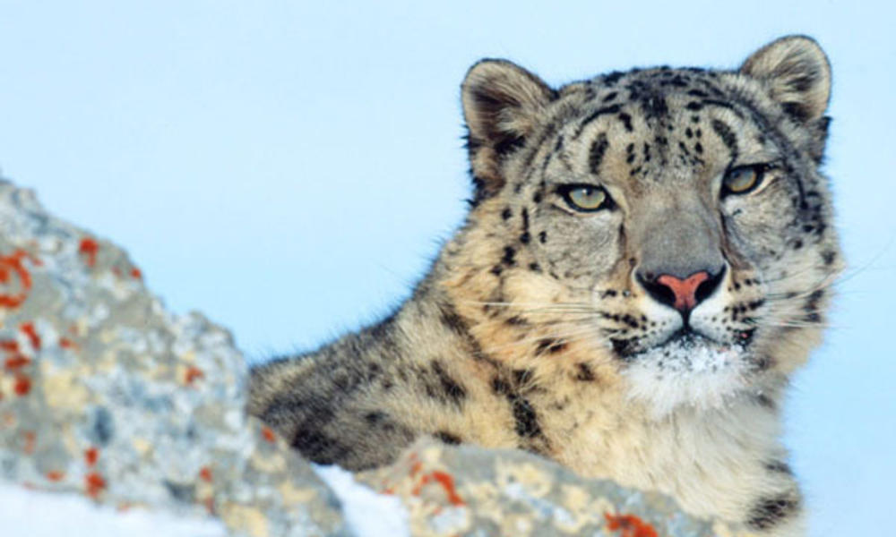 How Humans And Snow Leopards Can Live In Harmony Stories Wwf