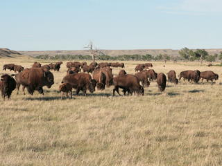 Bison roam badlands