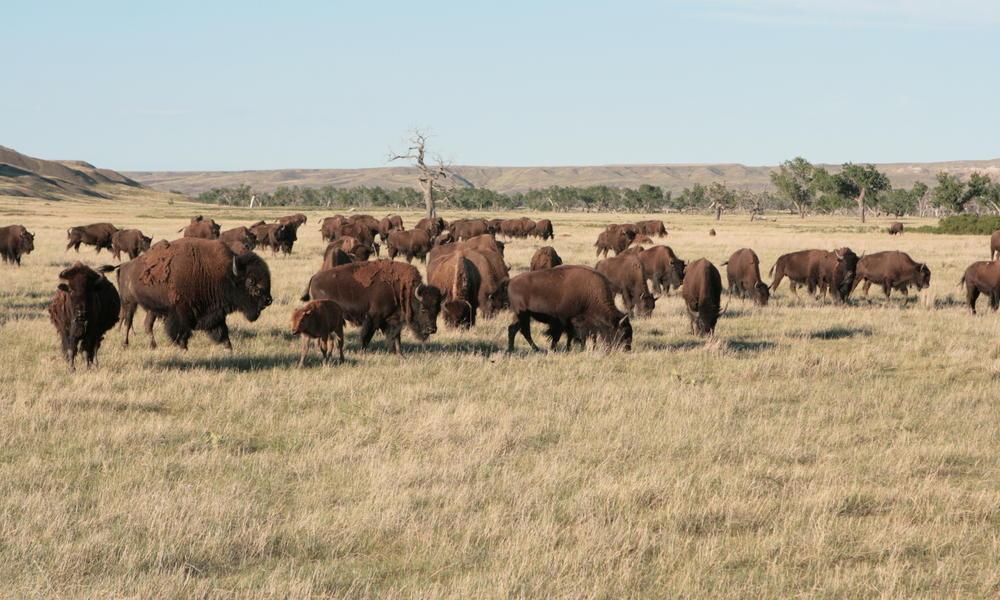 Bison roam badlands