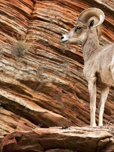 bighorn sheep zion np utah