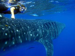 Whale_Shark___Swimmer_P8070157b_(c)_Astrid_Frisch.jpg