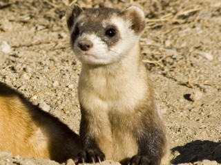 Black-footed ferrets (Mustela nigripes) family group being prepared for release. Captive breeding facility, Colorado, USA