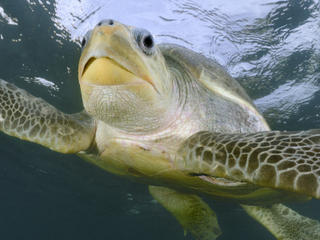Eastern Pacific Turtle Swimming