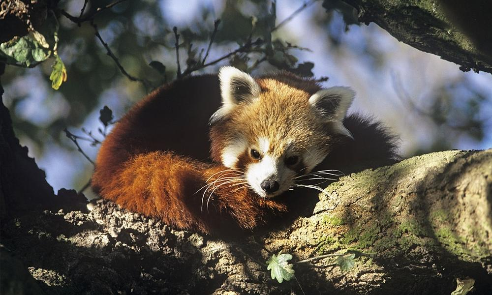 Red_panda_david_lawson_wwf_uk