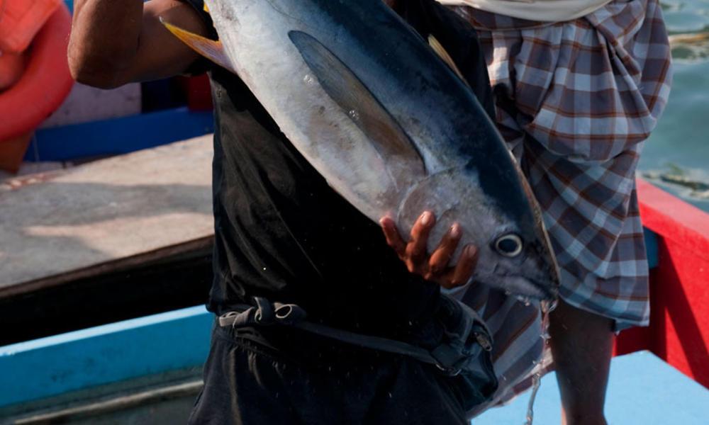 skipjack tuna fisherman delivering catch