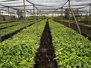 Nursery trees Indonesia