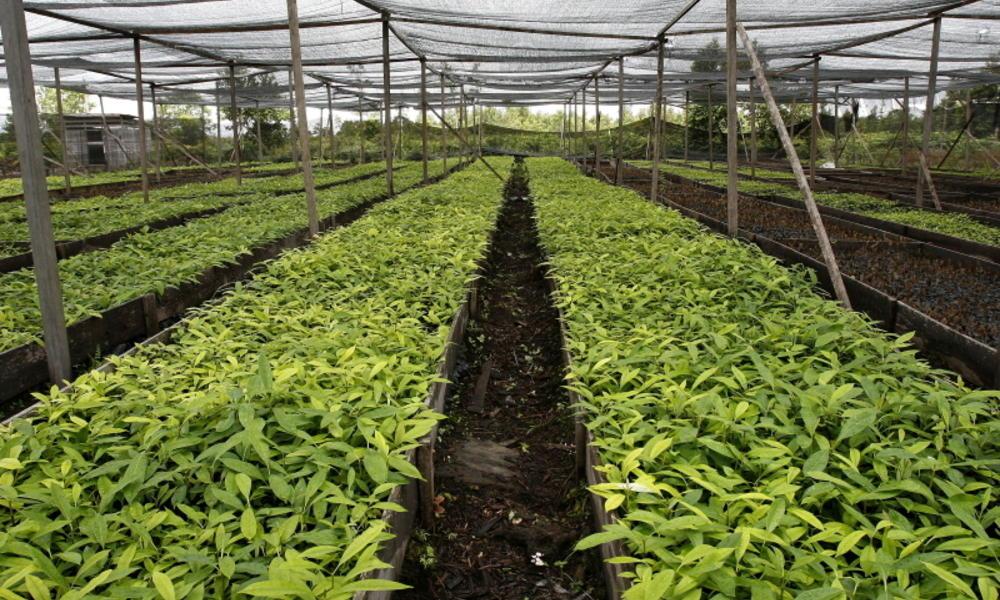 Nursery trees Indonesia