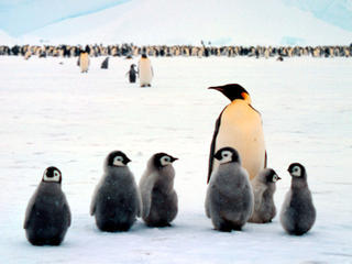 Emperor penguin babies