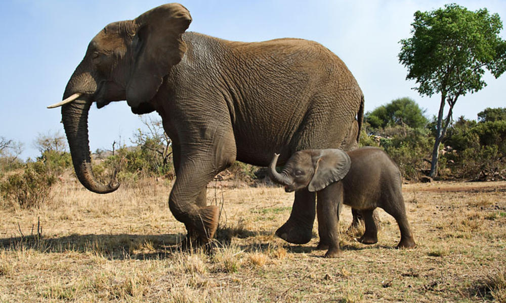 elephatn and calf