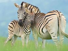 Zebra_with_foal_gpn301203_help